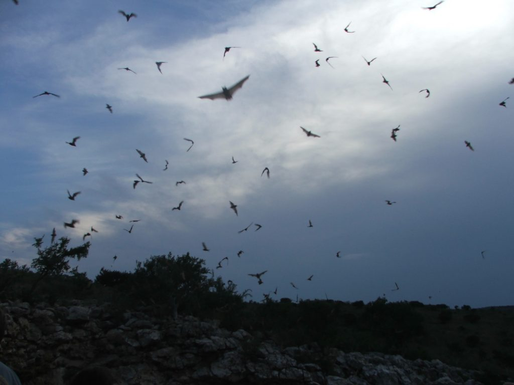 Every summer evening, the bats that inhabit Carlsbad Caverns leave in search of food, primarily insects. During bat migrations, the population of Mexican free-tailed bats in the park can reach up to 793,000.   http://en.wikipedia.org/wiki/Mexican_free-tailed_bat